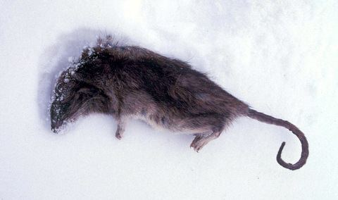 Norway_rat_dead_in_snow