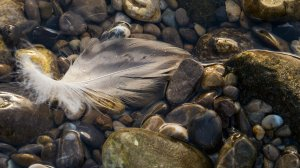 Feather by Fabian Augsberg; for more information, visit http://willi580.deviantart.com/