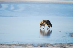 Coyote Reflection by Julie Rawlings; for more information, visit www.blindwolfspirit.com